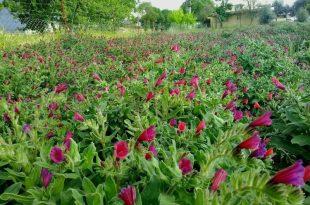 گیاهان دارویی الیگودرز